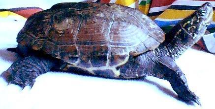 Plums, eine chinesiche Dreikielschildkröte